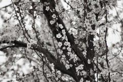 Baum der Pflaume Stockbild