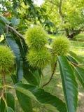 Baum der süßen Kastanie stockfoto