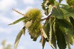 Baum der süßen Kastanie Stockbild