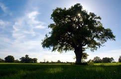 Baum, der seinen Schatten (Diss, wirft) stockfotos