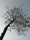 Baum in der Sonnenuntergangzeit mit klaren blauen Himmeln Lizenzfreie Stockfotografie