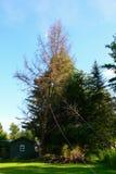 Baum, der unten fällt Lizenzfreie Stockbilder