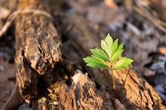 Baum, der von einem alten, tot, sterbend, verrotteter Baum wächst Stockbild