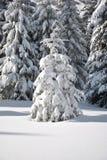 Baum der weißen Tanne Stockbild