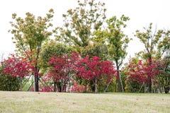 Baum des Ahorns (Acer-palmatum Thunb) Lizenzfreies Stockfoto