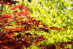 Baum des Ahorns (Acer-palmatum Thunb) Stockbilder