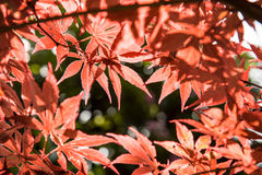 Baum des Ahorns (Acer-palmatum Thunb) Stockfotos