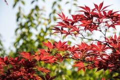 Baum des Ahorns (Acer-palmatum Thunb) Lizenzfreies Stockbild
