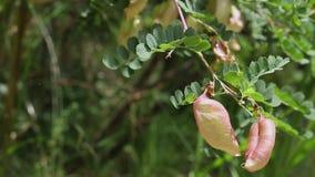 Baum des Coluteadetails stock video footage