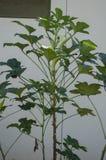 Baum des essbaren Eibisches mit Nahrung und Blüte stockbilder