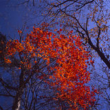 Baum des japanischen Ahornholzes Stockfotos