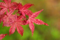 Baum des japanischen Ahornholzes Lizenzfreie Stockfotografie