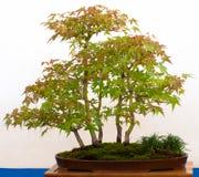 Baum des japanischen Ahornholzes als Bonsais Stockfotos