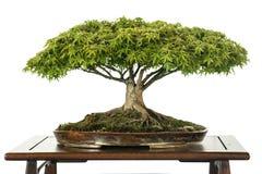 Baum des japanischen Ahornholzes als Bonsais Lizenzfreies Stockbild