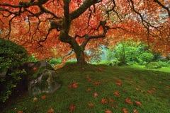 Baum des japanischen Ahornholzes im Fall 2 Stockbilder