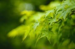 Baum des japanischen Ahornholzes verlässt Hintergrund Stockfotos