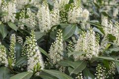 Baum des Kirschlorbeers in der Blüte, in den Blumen und in den Blättern Stockfoto