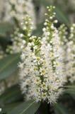 Baum des Kirschlorbeers in der Blüte, in den Blumen und in den Blättern Lizenzfreies Stockfoto
