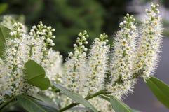 Baum des Kirschlorbeers in der Blüte, in den Blumen und in den Blättern Lizenzfreie Stockfotos