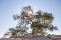 Baum des Lebens in Bahrain Stockbilder