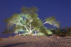 Baum des Lebens in Bahrain Stockfotografie