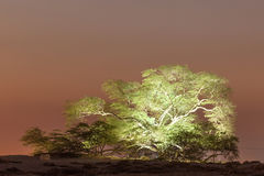 Baum des Lebens in Bahrain Stockfoto