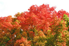 Baum des orange/roten Ahornholzes Lizenzfreie Stockfotos