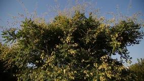 Baum des Physalis an einem sonnigen hellen Tag stock video