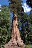 Baum des riesigen Mammutbaums, der für den Himmel erreicht lizenzfreie stockfotografie