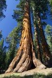 Baum des riesigen Mammutbaums, Mariposa Grove, Yosemite Nationalpark, Kalifornien, USA Stockfotos