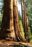 Baum des riesigen Mammutbaums nannte General Sherman Tree, HERR auf Datei lizenzfreies stockfoto