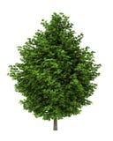 Baum des silbernen Ahornholzes getrennt auf Weiß Stockfoto