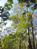 Baum des Waldes in Nationalpark Asiens, Thailand 3 Lizenzfreies Stockbild
