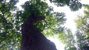 Baum- des Waldesansicht von unten Lizenzfreies Stockfoto