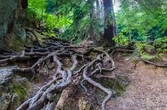 Baum- des Waldeswurzeln Lizenzfreie Stockbilder
