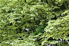 Baum des weißen Ahorns im malone, New York, Vereinigte Staaten Lizenzfreies Stockfoto