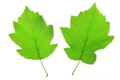 Baum des wilden Services (Sorbus torminalis) Lizenzfreies Stockfoto