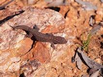Baum Dtella-Gecko Gehyra-variegata morgens Sonne im Hinterland Lizenzfreie Stockfotografie