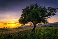 Baum durch ein Maisfeld bei Sonnenuntergang Lizenzfreie Stockfotografie