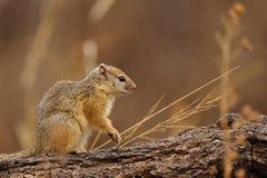 Baum-Eichhörnchen (Paraxerus cepapi) Lizenzfreie Stockfotos