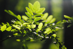 Baum eine Akazie Stockfoto