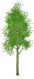 Baum eine Espe Lizenzfreie Stockbilder