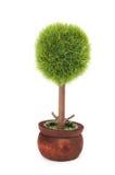 Baum in einem Potenziometer getrennt auf weißem Hintergrund Stockfotos