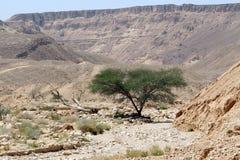 Baum in einem Tal auf Gebirgshintergrund Wüste Negev, Israel 2 Lizenzfreie Stockbilder