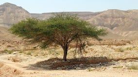 Baum in einem Tal auf Gebirgshintergrund Wüste Negev, Israel 2 Stockbild