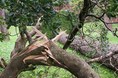 Baum entwurzelte und fiel nach dem Sturm Lizenzfreies Stockbild