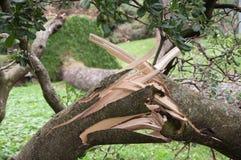 Baum entwurzelte und fiel nach dem Sturm Stockfoto