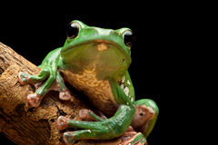 Baum-Frosch stockbilder