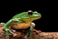 Baum-Frosch Lizenzfreies Stockfoto