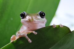 Baum-Frosch Stockfoto
